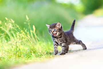Little meowing kitten walking on the sandy road