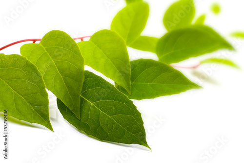 green liana plant isolated on white background