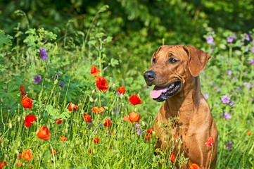 Rhodesian ridgeback puppy dog in a field of flowers