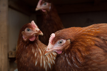 Farm hens indoors