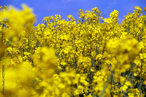 Bright yellow close-up of oilseed rape