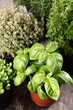 Basil, thyme, rosemary and oregano in flower pots.