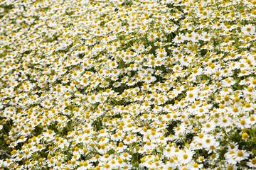 Feld mit Kamillenblüten