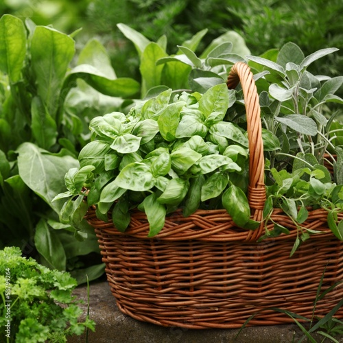 Basket with fresh herbs in herb garden.