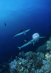 SUDAN, Red Sea, Sha'ab Rumi, Reef Grey Sharks
