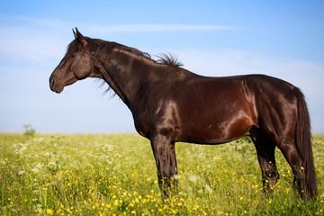 Trakehner black stallion in field