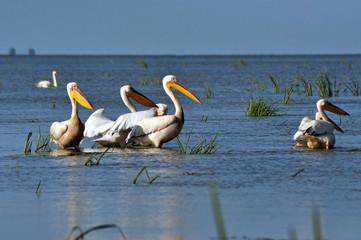 Great white pelicans in the Danube Delta