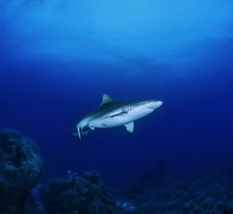 SUDAN, Red Sea, Sha'ab Rumi, Reef Grey Shark