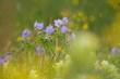 canvas print picture - Wiesen-Storchschnabel (Geranium pratense) meadow cranesbill