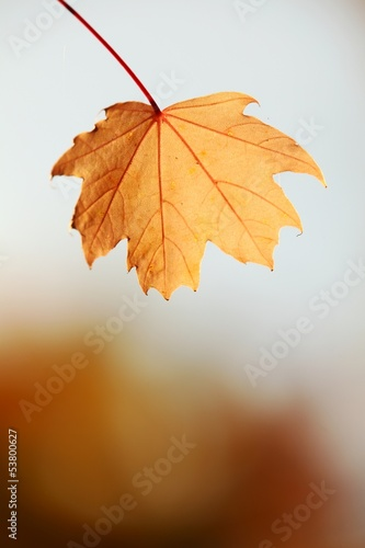 Close up of autumn leafe with copy space.