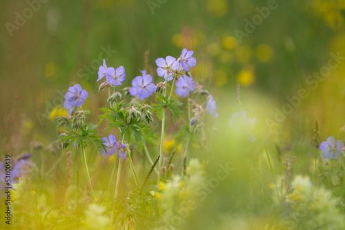 canvas print picture Wiesen-Storchschnabel (Geranium pratense) meadow cranesbill