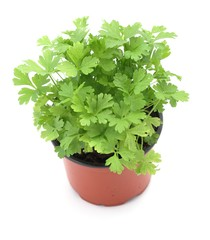Close-up of parsley in planting pot on white background