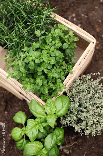 Herbs prepared for planting..Rosemary, oregano, thyme and basil.