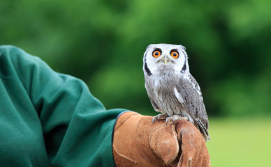 Little owl perched on trainers hand