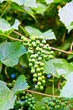 Bunch of green grapes on the bush