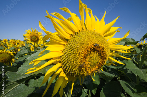 sunflower head with insect