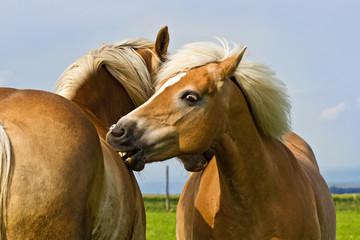 Pferde beim Knabbern, Liebkosen