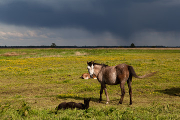horse and foals on pasture