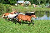 Herd of running mini horses Falabella on meadow, selective focus