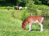 Falabella Foal mini horse grazing on a green meadow, selective f