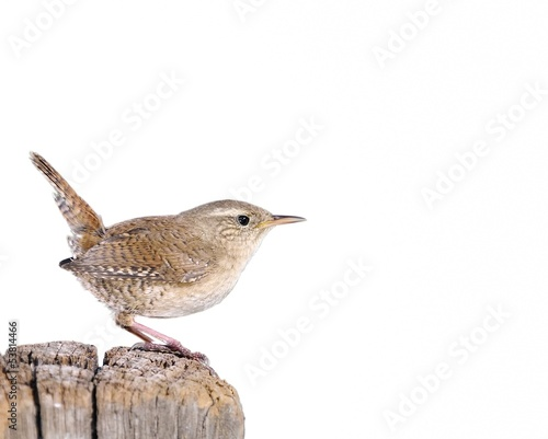 Winter wren on white background