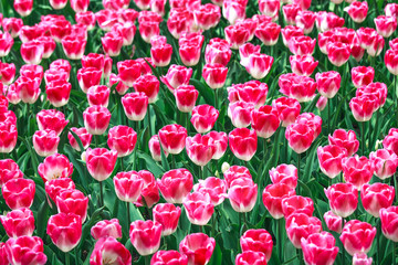 Pink white tulip garden in spring background or pattern