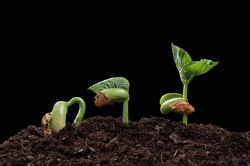 seedling of bean seed in soil isolated on black