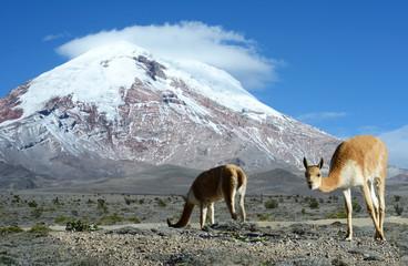 Vicugna. stratovolcano Chimborazo, Cordillera Occidental, Andes,