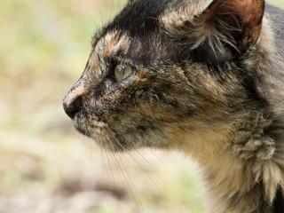 profile of the wild cat