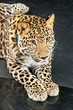 large beautiful leopard