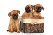 Griffon puppies on a white background