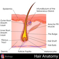 Hair Anatomy