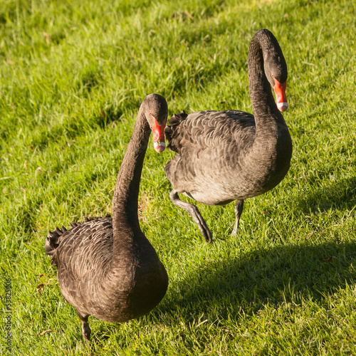 black swans on fresh grass
