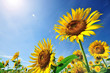 Leinwandbild Motiv 太陽とヒマワリ