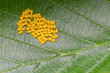 Aporia crataegi Eggs on Green Leaf Close-up