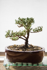 Bonsai tree on a table at home