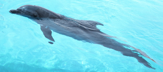 Beautiful dolphin swimming.