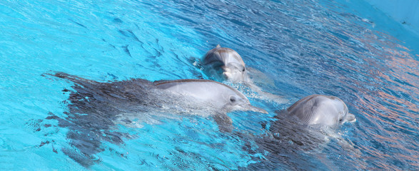 Cute dolphins dancing in light-blue water
