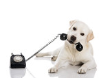 Fototapety Labrador answering a call