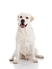 Labrador dog sitting on floor