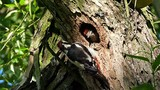 family great spotted woodpecker