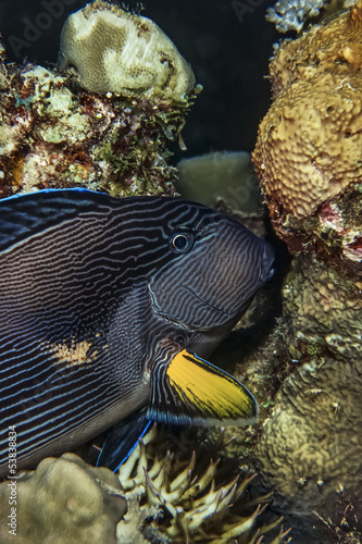 SUDAN, Red Sea, Black Striped Surgeonfish