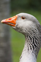 Close portrait of goose