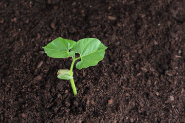 bean sprout in soil