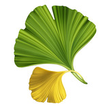creative foliage, illustration of ginkgo leaves isolated