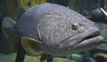 Grouper fish (Epinephelus marginatus)