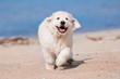 happy golden retriever puppy running at the beach