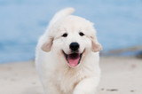 happy golden retriever puppy portrait