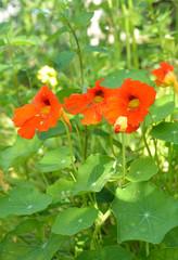 Kapuzinerkresse 3 parallele Blüten