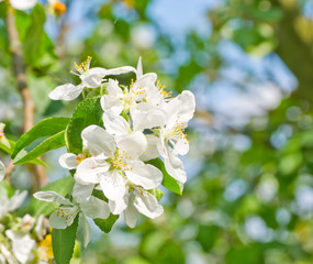 Flowering apple
